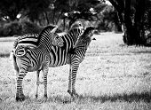 pic of tripe  - Zebra mother with her young - JPG
