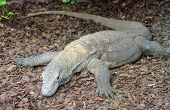 picture of komodo dragon  - Komodo dragon full body looking alert and dangerous - JPG