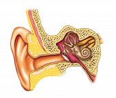 foto of eardrum  - Illustration showing the interiors of an human ear - JPG
