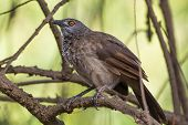 stock photo of babbler  - A Brown Babbler Perched on a branch - JPG