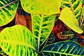 pic of crotons  - A Croton shows its design and color on a spring day - JPG