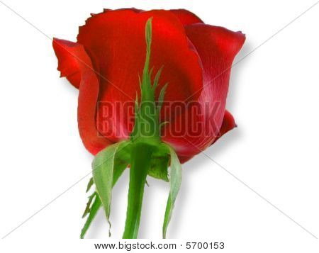 Deep Red Rose All White Background