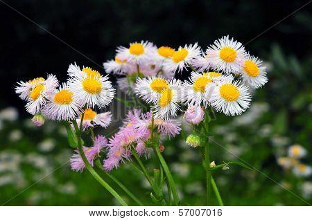 Flower of the Erigeron philadelphicus