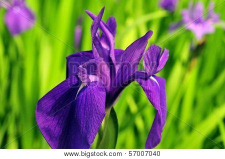 Flower of the iris