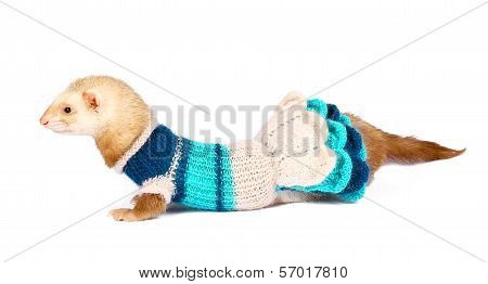 ferret female dressed isolated