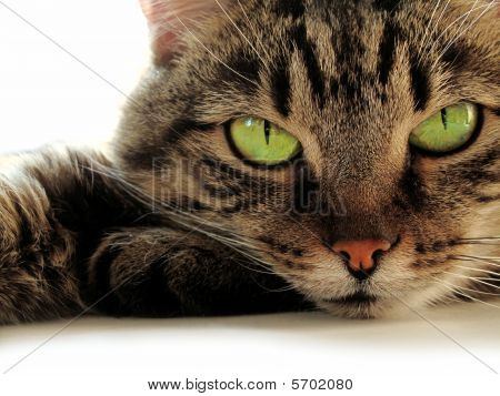 Green eyed Cat