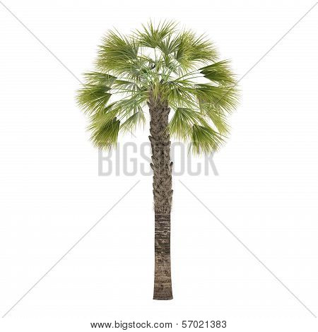 Palm tree isolated. Sabal Palmetto
