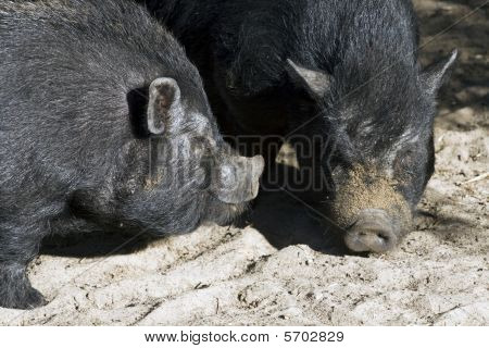 Vietnamese potbellied pigs