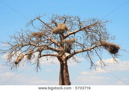 Baobab With Big Nests
