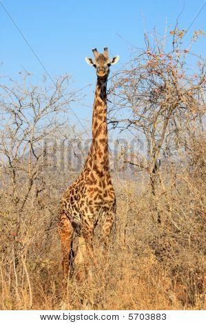 Giraffe In Bush
