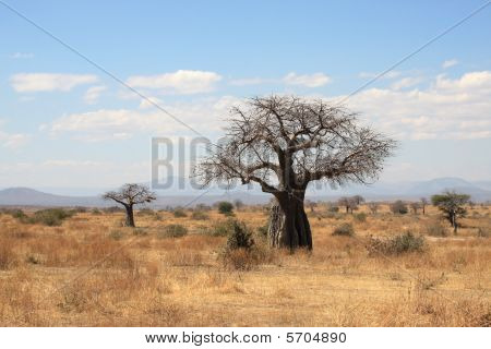 Savanna landscape with thick baobab