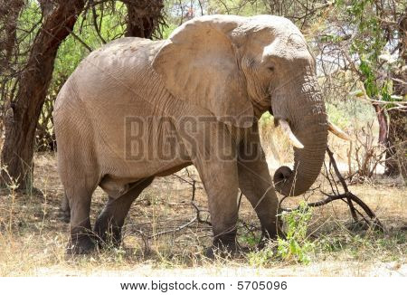 Old male elephant in bush