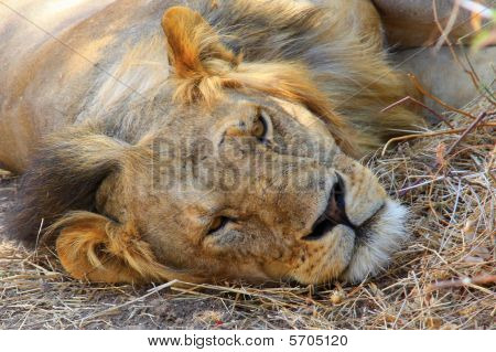Drowsing lion