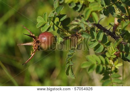 Burnet Rose Hip
