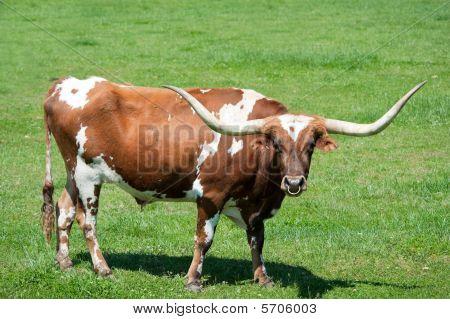 A Longhorn Bull