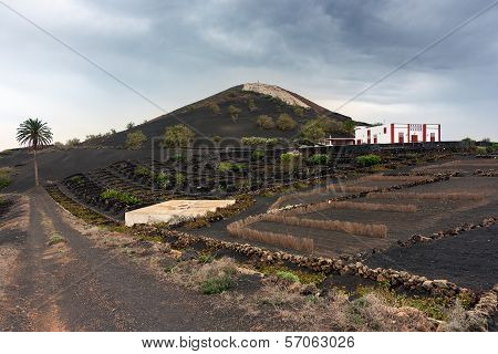Vines In Lanzarote, Canary Islands, Spain