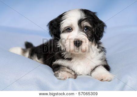 Cute Havanese Puppy Dog Is Lying On A Blue Blanket