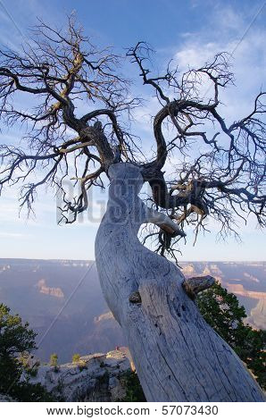 Old Dead Tree On The Edge Of The Grand Canyon