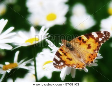 Beautiful Nature Scene Butterfly On Daisy Flower
