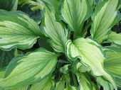 Closeup of Hosta plant