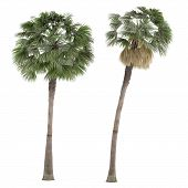 stock photo of washingtonia  - Palm plant tree isolated - JPG