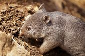 picture of wombat  - Common or Naked-nosed wombat in Tasmania Australia