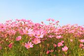 stock photo of cosmos flowers  - Pink cosmos flowers in the garden against blue sky - JPG