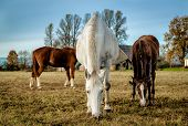 stock photo of feeding horse  - Horses feeding outdoors - JPG