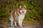 foto of husky sled dog breeds  - beautiful siberian husky breed dog outdoors winter