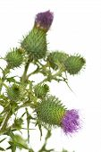 stock photo of scottish thistle  - Thistle closeup isolated on the white background - JPG