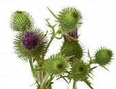 foto of scottish thistle  - Thistle closeup isolated on the white background
