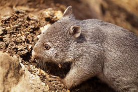 foto of wombat  - Common or Naked-nosed wombat in Tasmania Australia