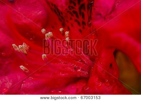 Macro Rododendro