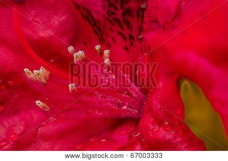 Beautiful Rododendro