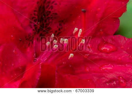Rododendro In Close
