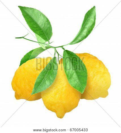 Yellow Lemons On Green Branch
