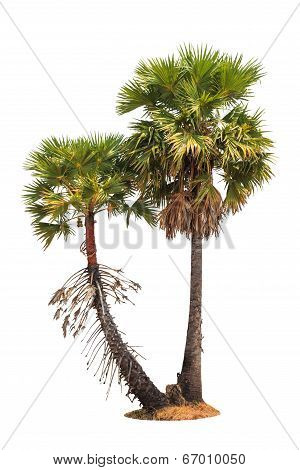 Borassus Flabellifer, Known By Several Common Names, Including Asian Palmyra Palm, Toddy Palm, Sugar