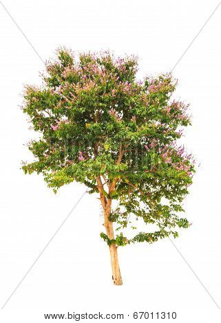 Lagerstroemia Floribunda, Also Known As Thai Crape Myrtle And Kedah Bngor, Tropical Tree In The Nort