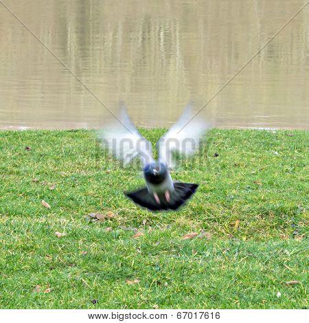 Parisian rock pigeon (Columba livia) flying at the edge of the Seine