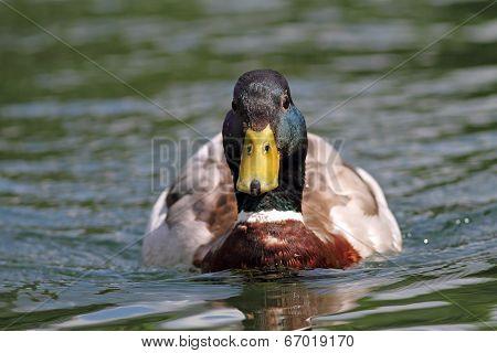 Mallard Drake Swimming On Water
