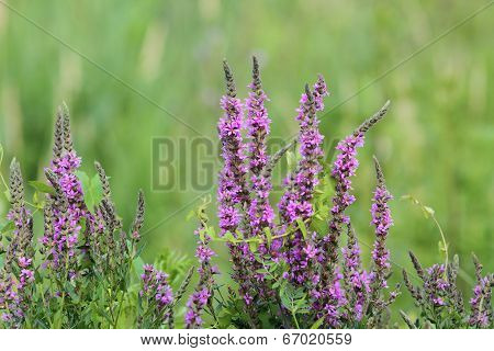 Purple Wetland Wild  Flowers