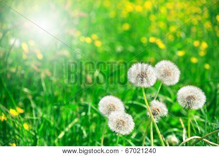 Downy Dandelions