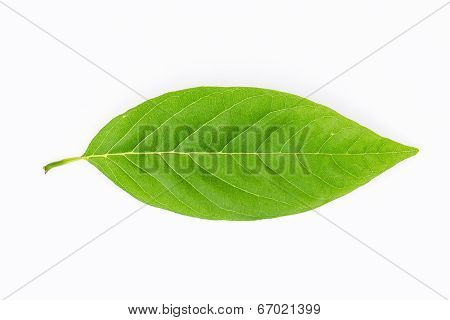 Green Spring Leave Isolated On White Background