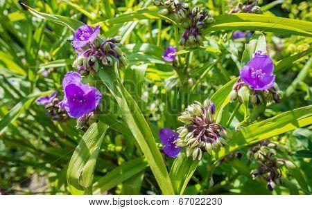 Lilac Flowering Virginia Spiderwort