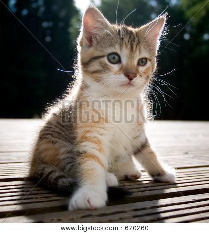 Tripod Kitten