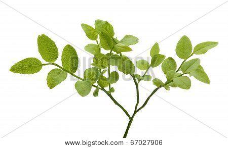 Bilberry Bush