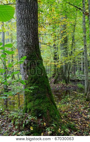 Old Oak Tree And Water In Fall Forest