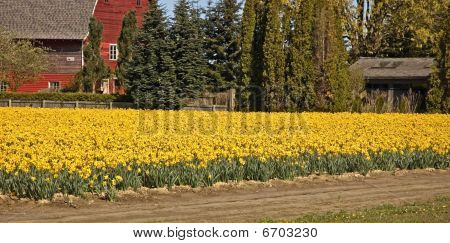 Bright Yellow Daffodil Field With Red Barn