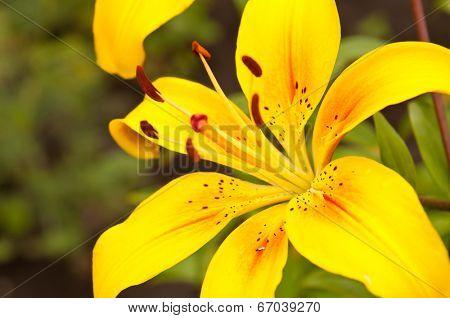 Lilium lancifolium flower close up background