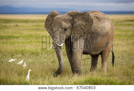 Elephant with curved tusks